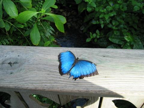 BlueMorphis